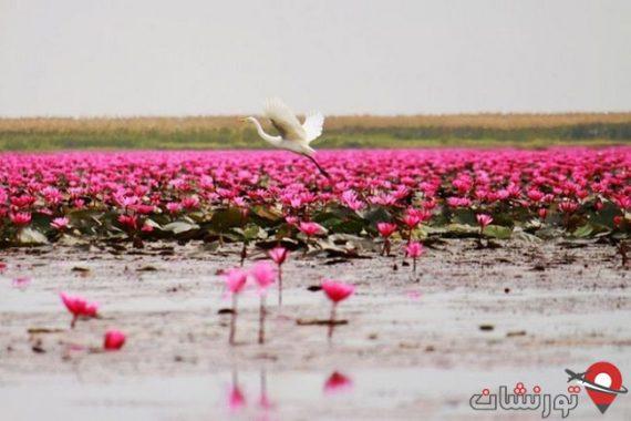 دریاچه نیلوفر آبی تایلند